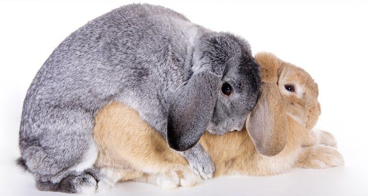El celo de los conejos puede durar toda la vida y va por etapas