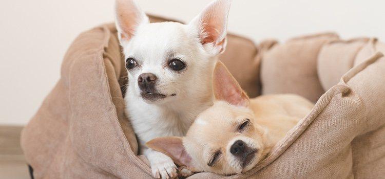 Los perros de raza pequeña tienen más probabilidad de sufrir hidrocefalia