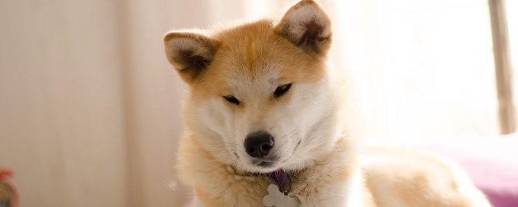 El Akita Inu tiene la cabeza más grane y los ojos más redondos