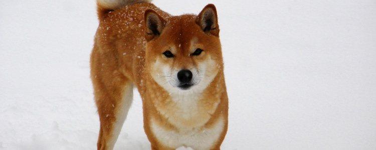 El Shiba Inu mide entre 35 y 40 centímetros y pesa de 8 a 15 kilos