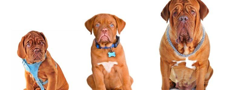 Al igual que con las personas, los perros tienen una alimentación distinta dependiendo de su edad