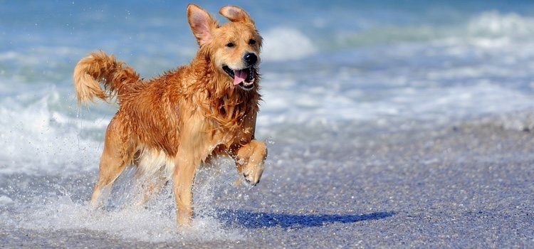 A los perros les encanta correr por la orilla del mar