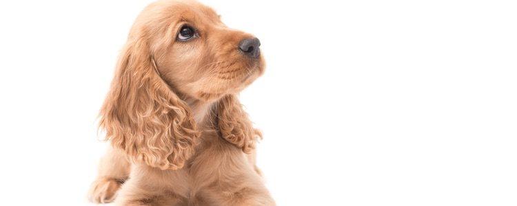 Sus orejas son de gran tamaño por eso es importante cuidárselas a menudo