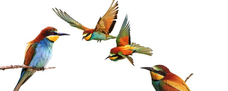 Es muy importante el aleteo de las alas para averiguar su estado de ánimo