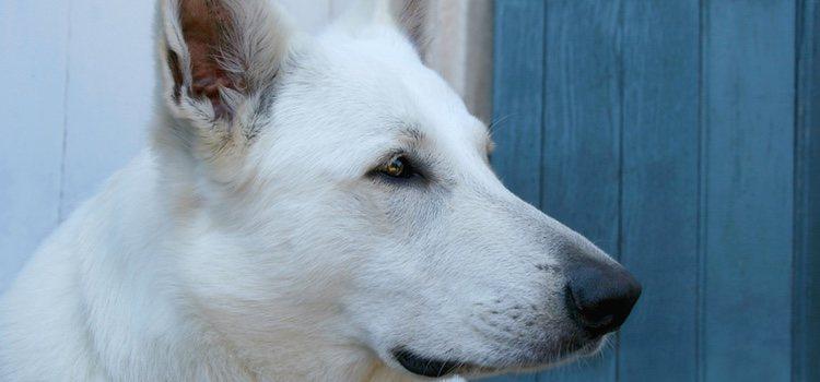 La cabeza del Can de Palleiro tiene forma piramidal