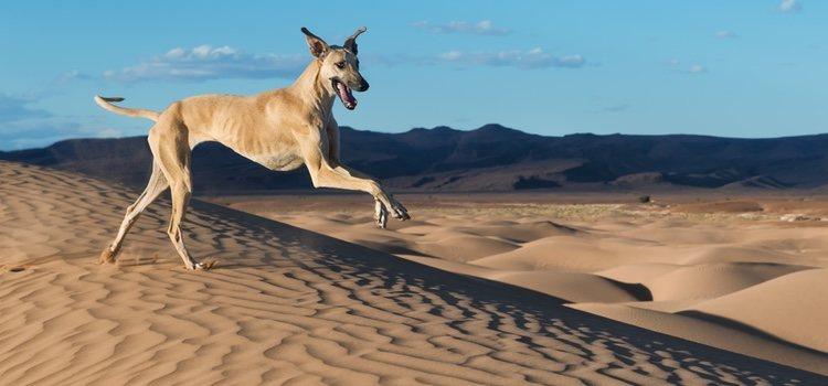 El Sloughi es un perro atlético que necesita de mucha actividad física