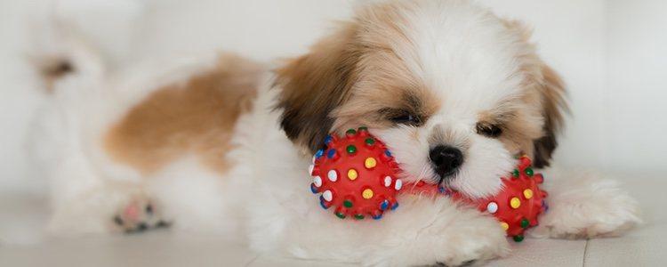 A partir de los 6 meses tu perro puede ir utilizando juguetes más duros sin riesgo de hacerse daño en los dientes