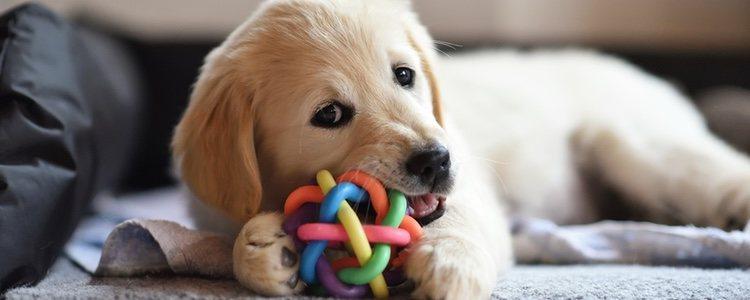 Los mordedores son útiles para que a tu cachorro no le duelan los dientes cuando le salgan los nuevos después de que se le caigan los de leche