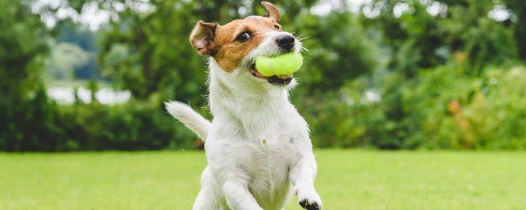 A medida que crecen los perros demandan juguetes más interactivos como pelotas o discos