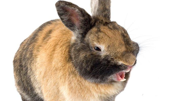 Los problemas dentales de los conejos pueden surgir por muchas razones