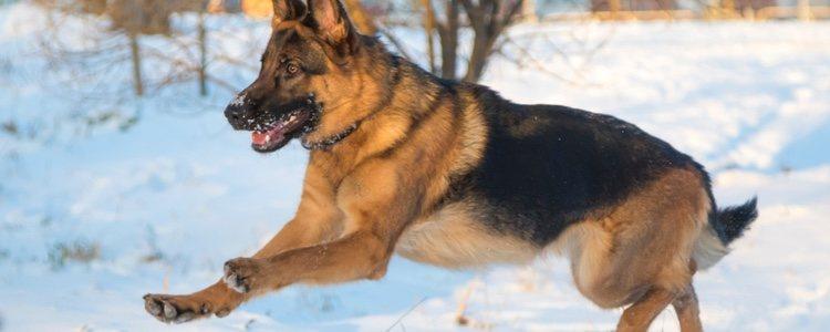 Estos perros suelen ser muy musculoso