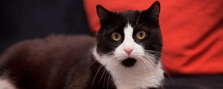 Hay muchos síntomas que nos pueden indicar que nuestro gato se ha intoxicado como por ejemplo la pérdida de apetito o diarreas