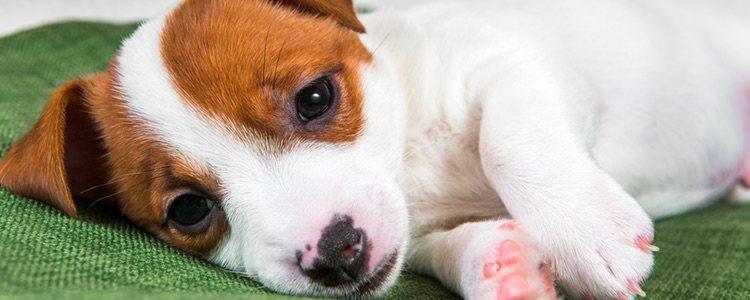 Aunque encuentres a tu perro deprimido no se te ocurra darle antidepresivos la mejor opción es llevarlo al veterinario