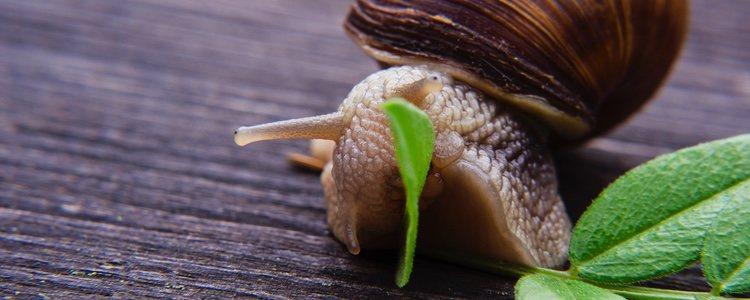 Los caracoles disfrutan comiendo vegetales