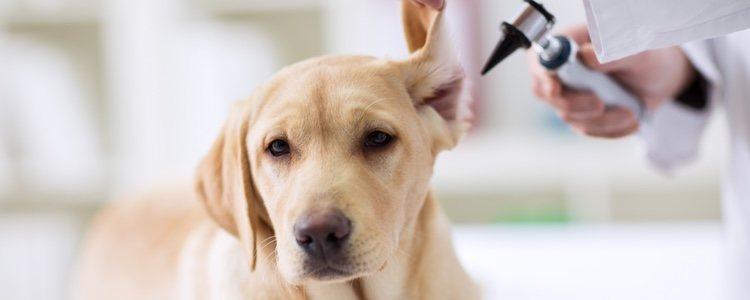 El primer paso para acabar con los parásitos es acudir al veterinario