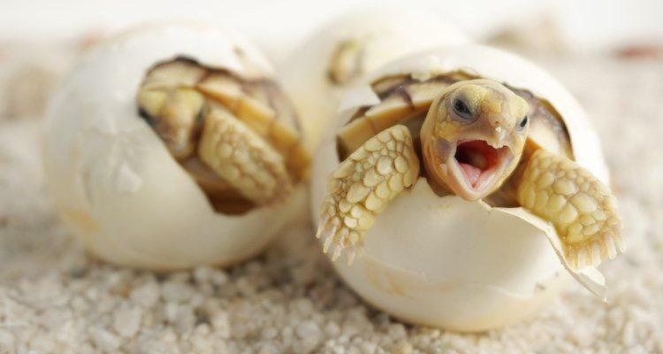 Las tortugas de agua dulce tienen algo más fácil el apareamiento por el simple hecho de estar en el agua