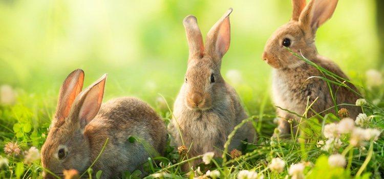 Las conejas pueden llegar a tener hasta 12 gazapos en un parto