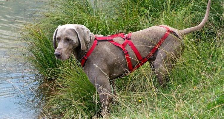 El arnés sirve para afrontar los tirones de los perros más grandes