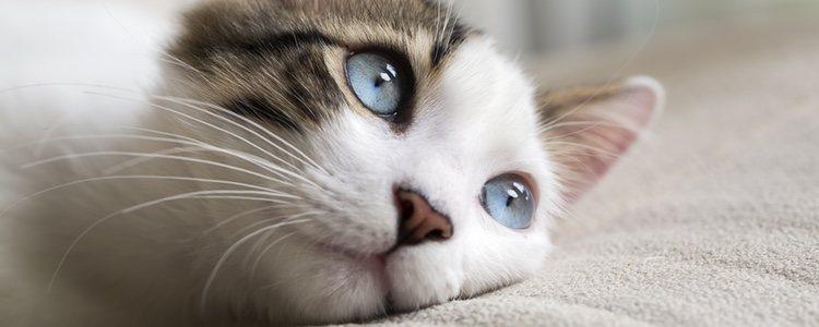 Si el gato tiene varios episodios de diarrea o vómitos puede deberse a una gastroenteritis