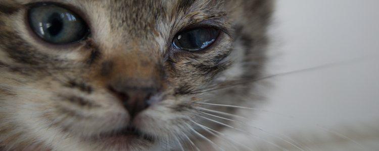 Esta es una patología muy frecuente en los gatos