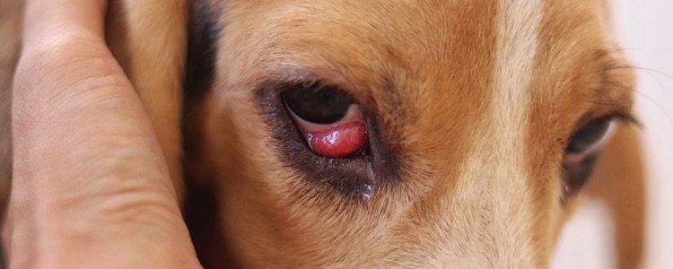 Según la raza del perro hay más probabilidad de que sufra una enfermedad u otra