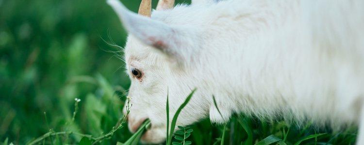 Las cabras enanas deben tener una alimentación basada en pasto, heno, grano y todo tipo e vegetales