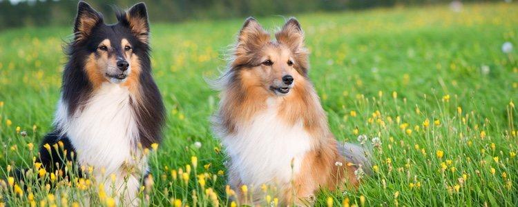 El Shetland Sheepdog es el tipo más pequeño de esta raza