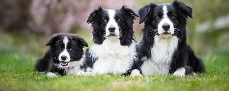 Los Collies son una de las razas más inteligentes en el mundo canino