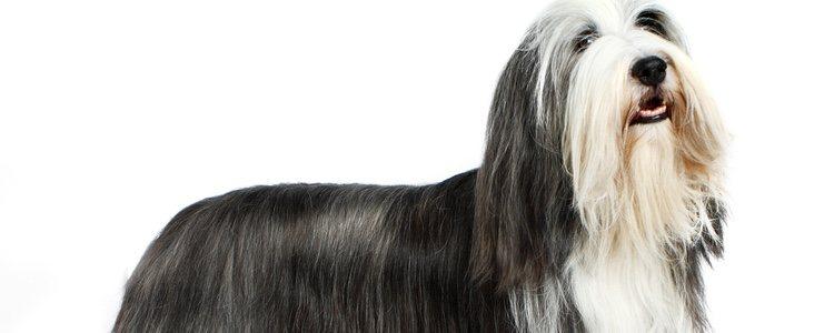 El Collie barbudo es muy fácil de reconocer sobre todo por su pelaje largo y gris