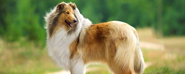 El Rough Collie es el tipo Lassie