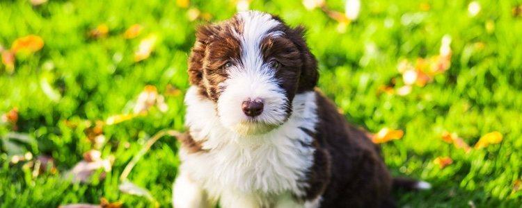 El Collie barbudo es agil, fiel, cariñoso y bonachón
