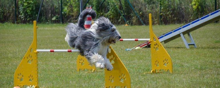 Es aconsejable que realicen ejercicios de agilidad o herding