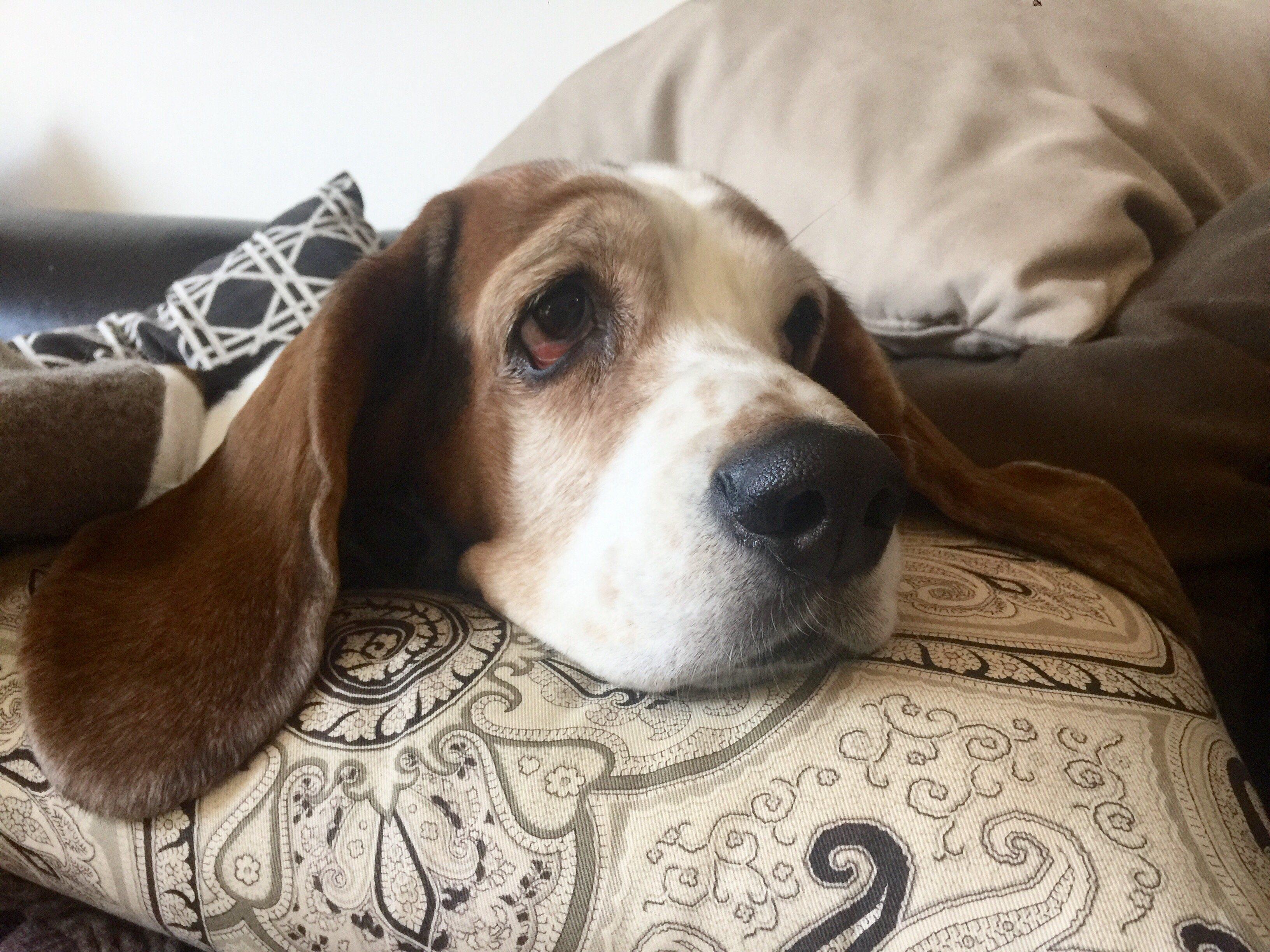 Гончие - упорные и беспощадные собаки