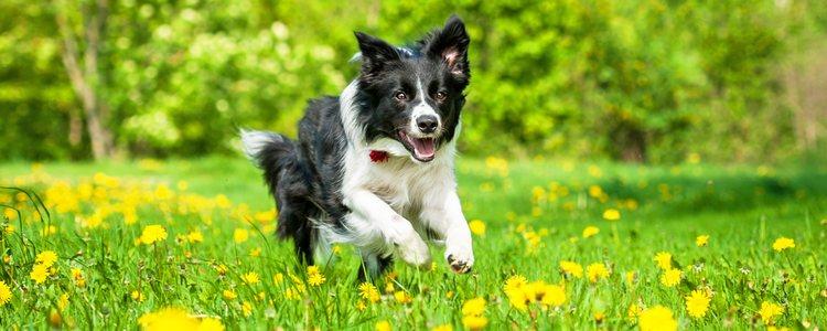 Los perros que hagan mucho ejercicio la deberán de tomar por el desgaste físico
