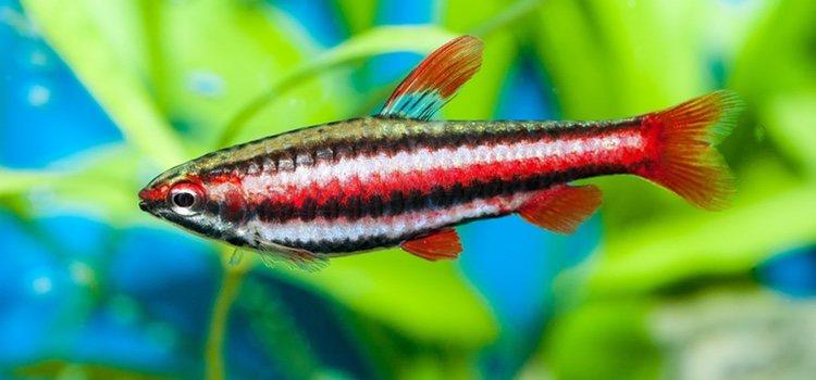 El alimento del pez lápiz rojo va cambiando con los días