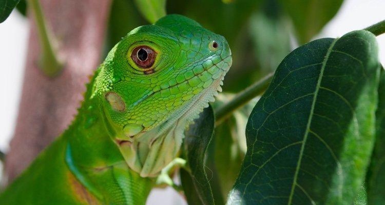 La iguana necesita unos cuidados específicos en lo que a su alimentación respecta