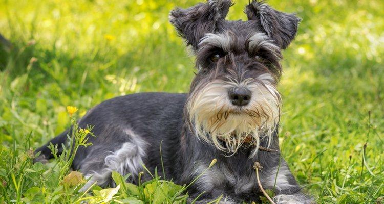 Los Schnauzer son perros muy ágiles a los que se les dan muy bien las pruebas