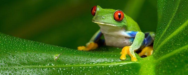 Hay más de 6.000 especies diferentes de ranas