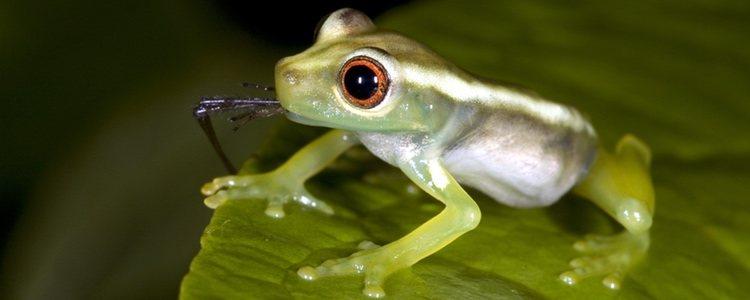 Las ranas deben comer alimentos ligeros