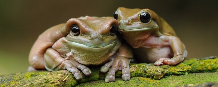 Las ranas pueden fecundar de dos tipos