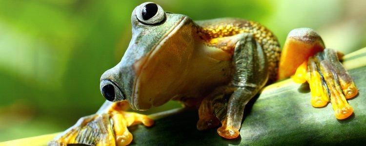 Algunas ranas cambian de color al camuflarse