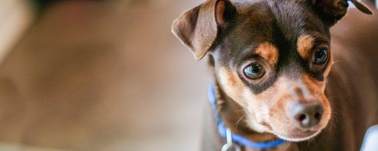 Las gasas humedecidas evitarán que tu mascota tenga alguna infección en el ojo