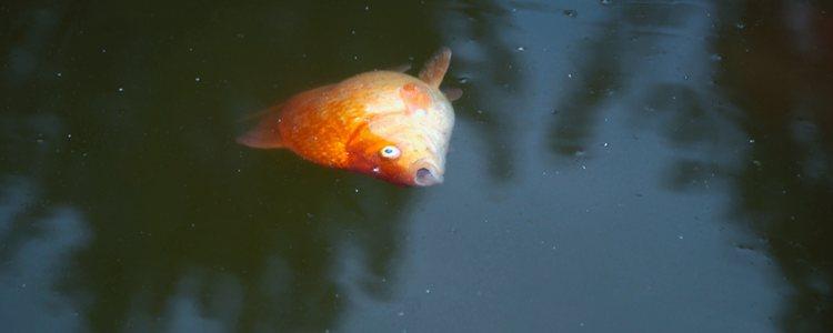 Los peces no suelen sobrevivir a este tipo de hongo