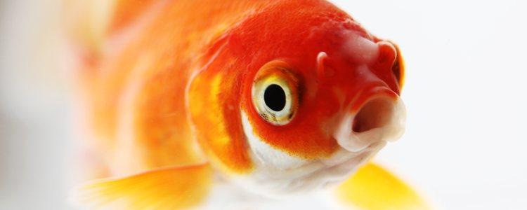 Uno de los síntomas es la incapacidad respiratoria del pez
