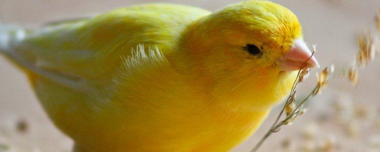 Observa el plumaje de tu canario para saber si esta enfermo