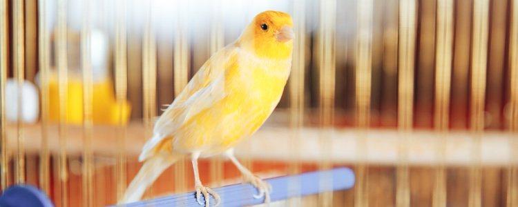 Presta atención al canto de tu pájaro ya que es un buen síntoma para detectar a determinados ácaros