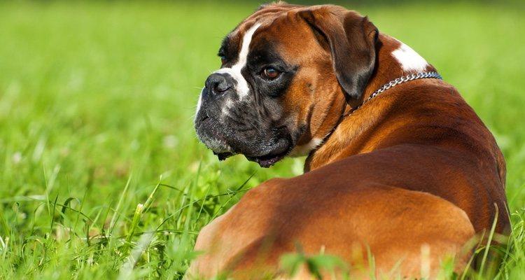 El Bóxer es una raza de perro muy inteligente