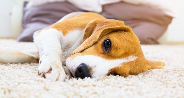 La intoxicación de los perros se puede producir por muchas razones y de muchos tipos