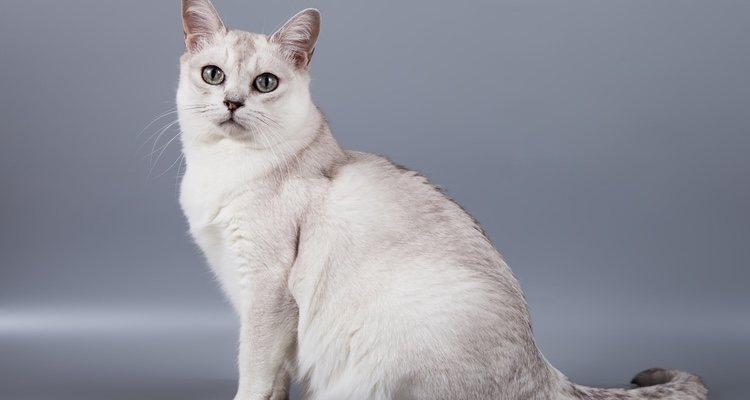 Los gatos Burmilla pueden tener varios colores pero el más habitual es el blanco