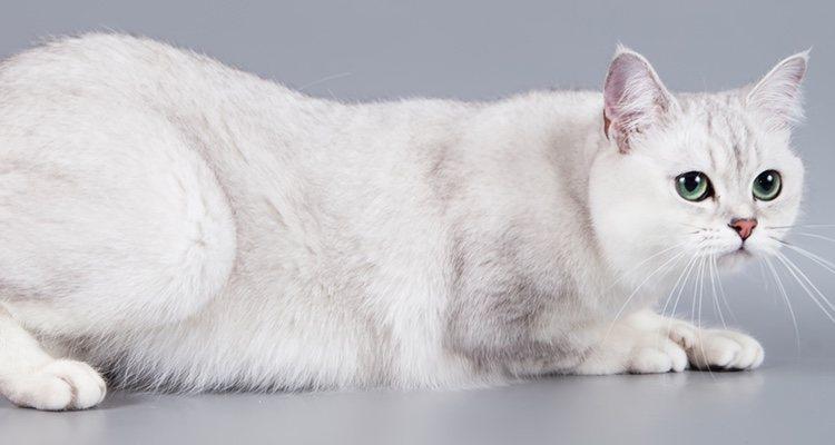 Son gatos sociables y no habrá problema en que haya otras mascotas en la casa